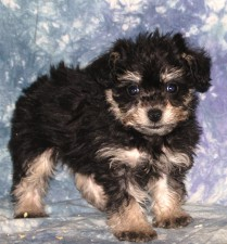 Schnoodle 1100